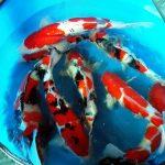 cung cấp cá KOI